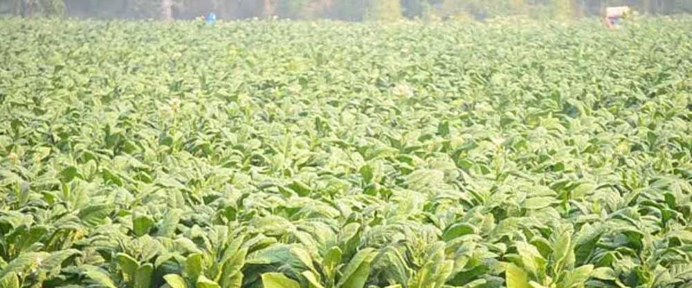 tobacco farming coronavirus vaccine